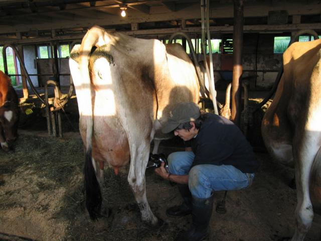 Our cows are milked twice a day November through May.