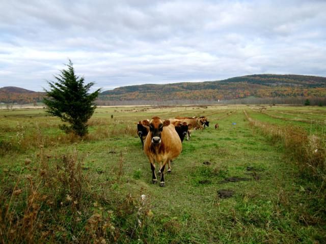 """We practice """"rotational grazing"""" so our cows get new pastures every 2 days."""