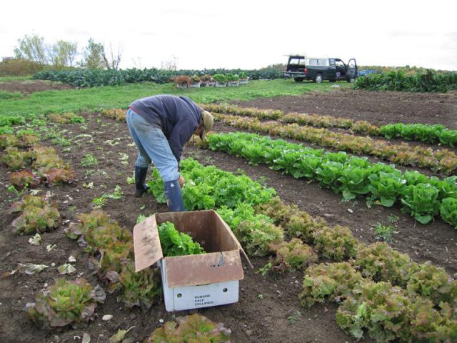 Harvesting Lettuce - Lettuce is delivered to markets & restaurants twice a week.