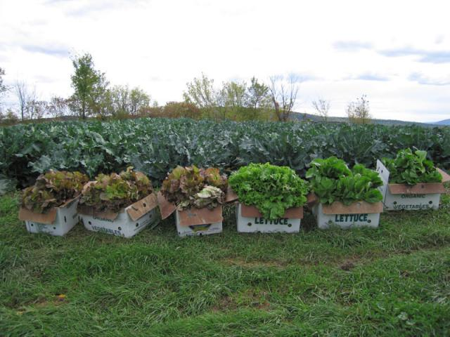 We start selling lettuce in May, then again in the fall.