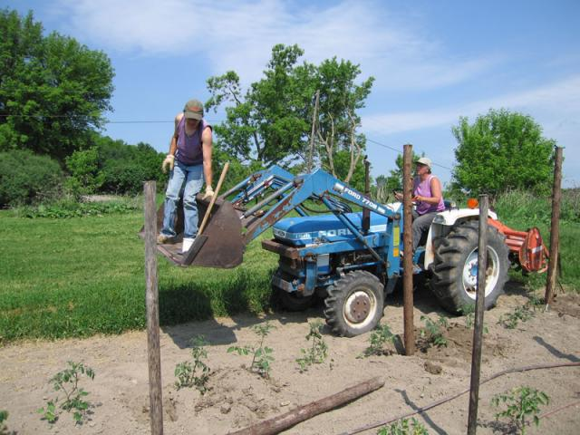 Posts are pounded for the chetty tomato trellises